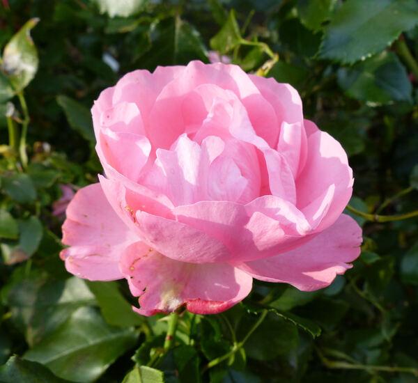 Rosa 'Rose Professor Sieber'