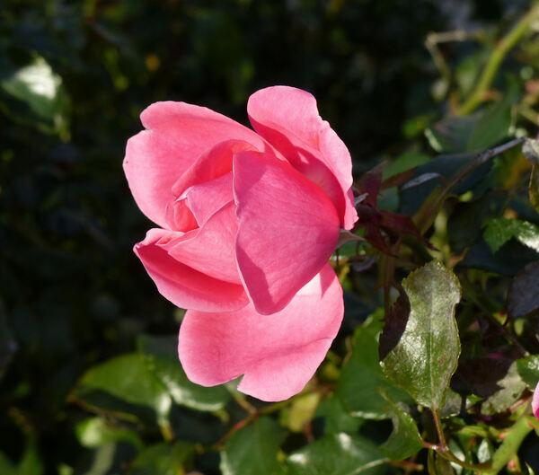 Rosa 'Venere ®'