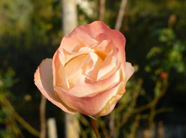 Rosa 'Marie Antoinette ®'
