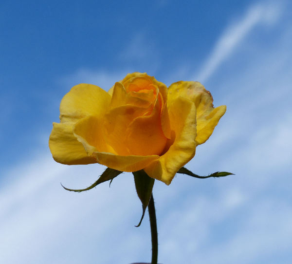 Rosa 'Forever Yellow ®'
