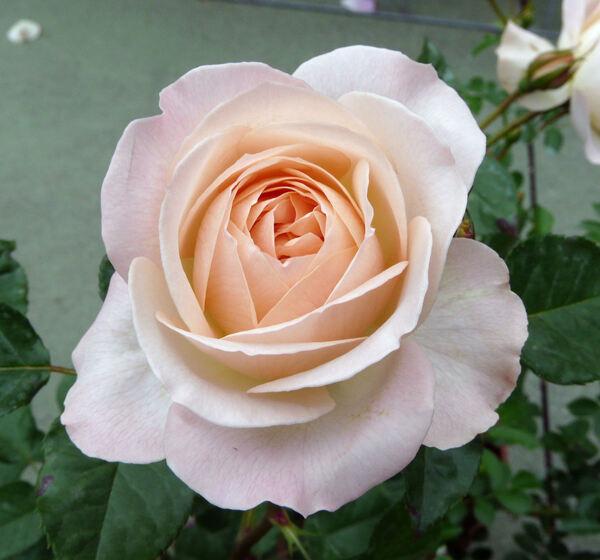 Rosa 'Sans Souci ®'
