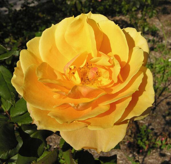 Rosa 'Pride of Cheshire'