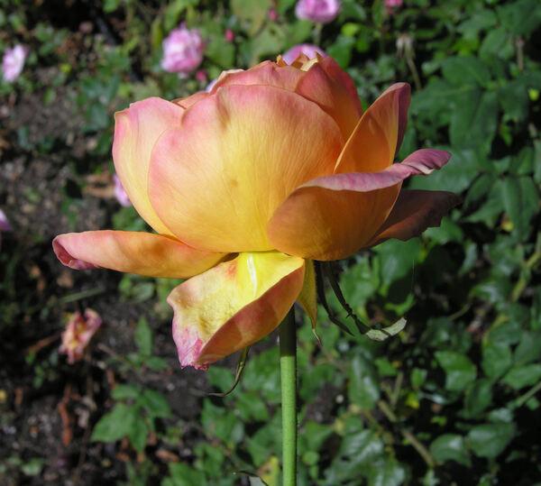Rosa 'Clementina Carbonieri'