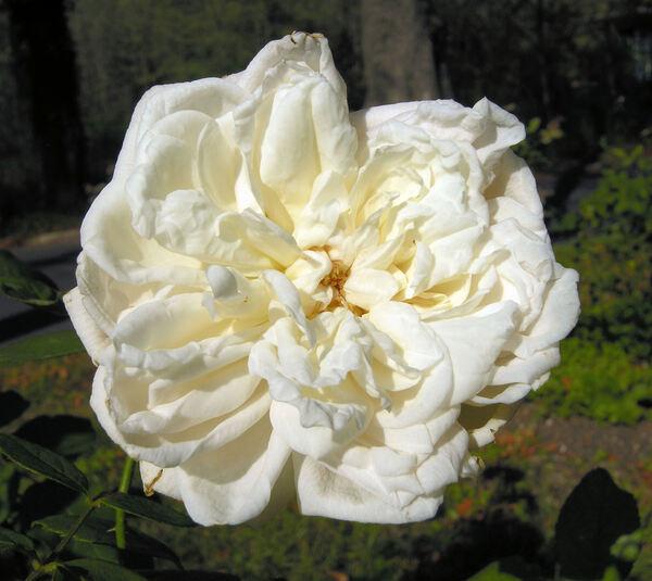 Rosa 'Fürstin von Pless'