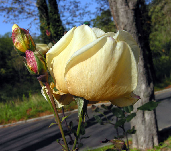 Rosa 'Mrs. Myles Kennedy'