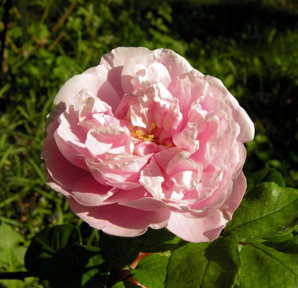 Rosa 'Gerbe Rose'