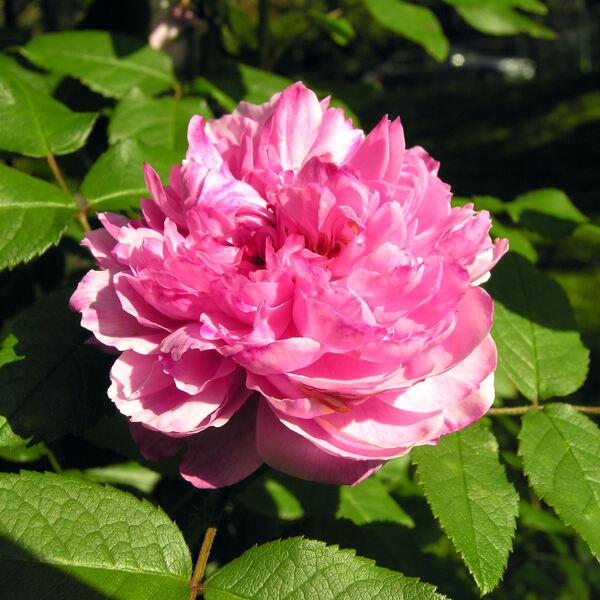 Rosa 'Souvenir de McKinley'