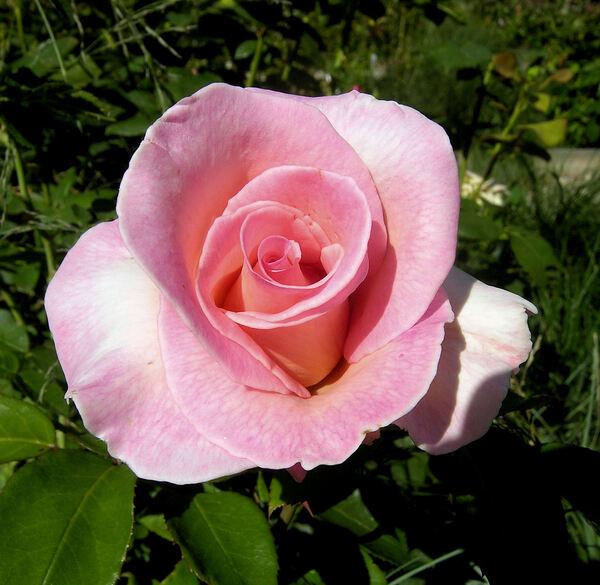 Rosa 'Summer Lady ®'