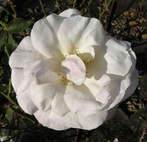 Rosa 'Audrey Hepburn'
