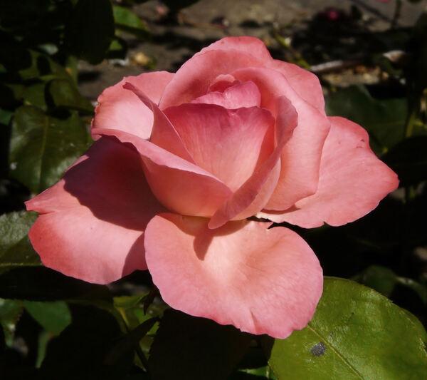 Rosa 'Panthère Rose ®'