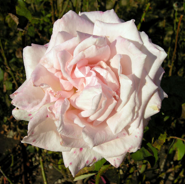 Rosa 'Helen Keller ®'