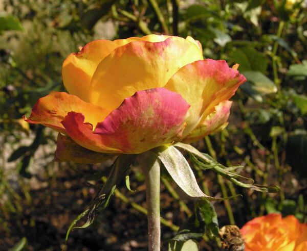 Rosa 'Tequila Sunrise'