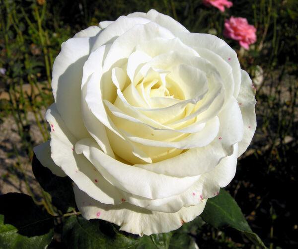 Rosa 'Casta Diva ®'