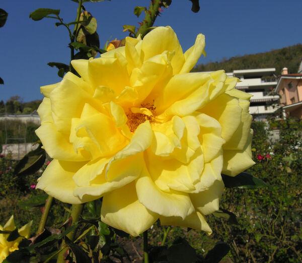 Rosa 'Canadiana'