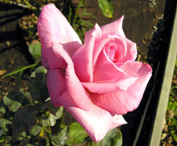 Rosa 'Princesse Paola'