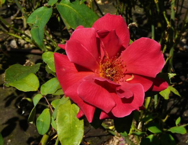 Rosa 'Audie Murphy'
