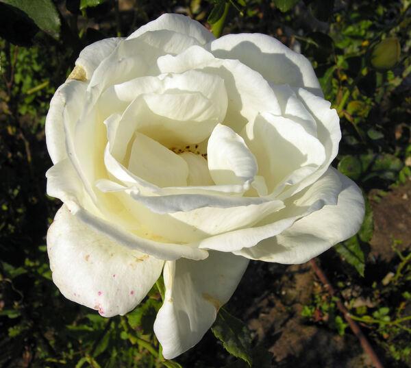 Rosa 'White Christmas'