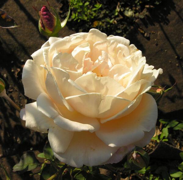 Rosa 'Admiration'