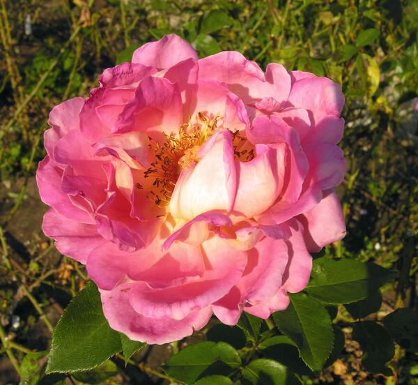 Rosa 'Tramonto'