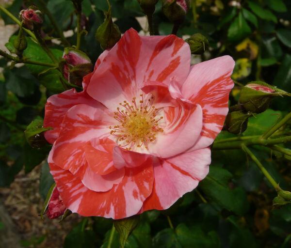 Rosa 'Baronne de Nervo'