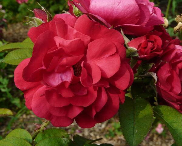 Rosa 'Hansaland ®'