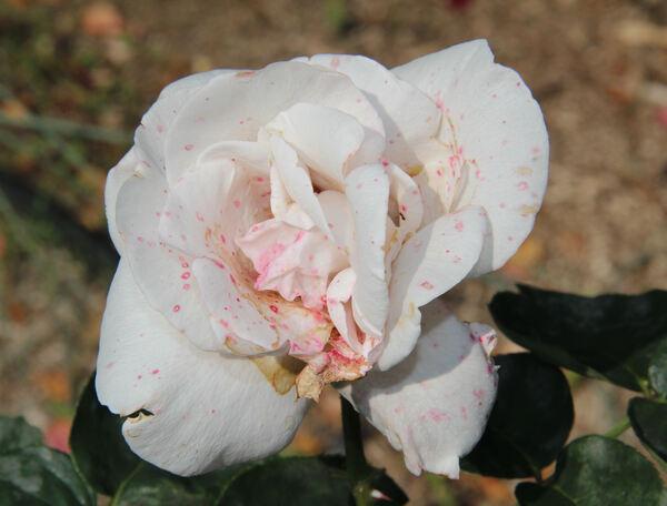 Rosa 'Versailles ®'