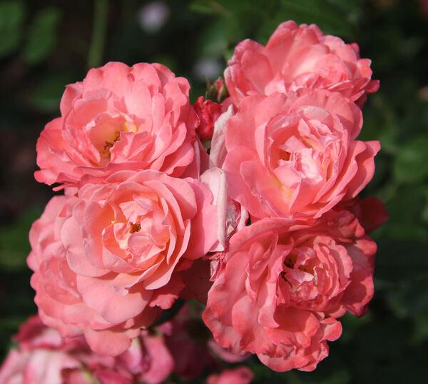 Rosa 'Mein Schöner Garten ®'