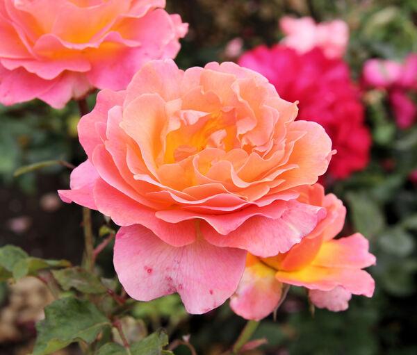 Rosa 'Taifun'