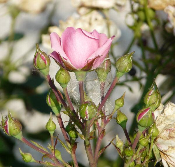 Rosa 'Berleburg ®'
