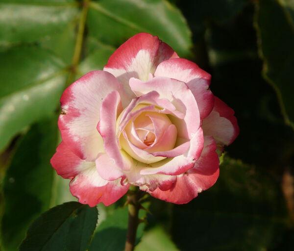 Rosa 'Jubilé du Prince de Monaco'
