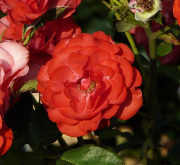 Rosa 'Romeo ®'