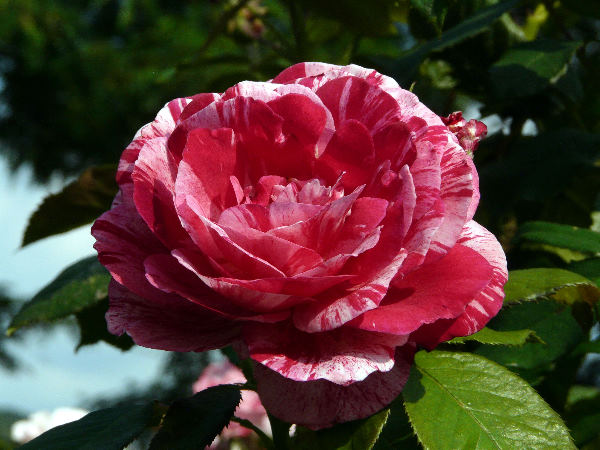 Rosa 'Scentimental ™'