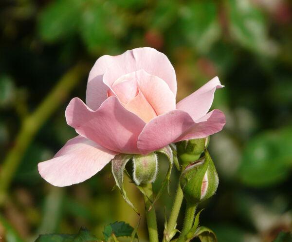 Rosa 'Botticelli ®'