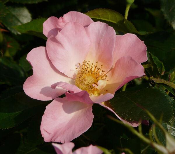 Rosa 'Liolà'