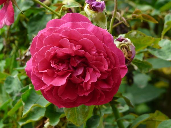 Rosa 'The Dark Lady'
