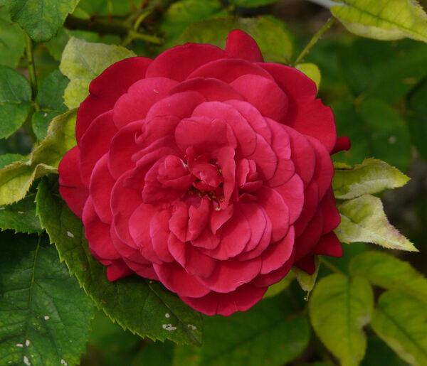 Rosa 'L.D. Braithwaite'