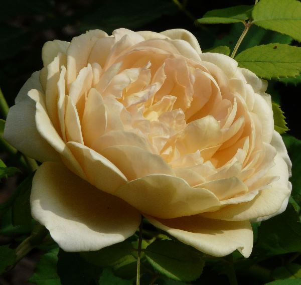 Rosa 'Jayne Austin'