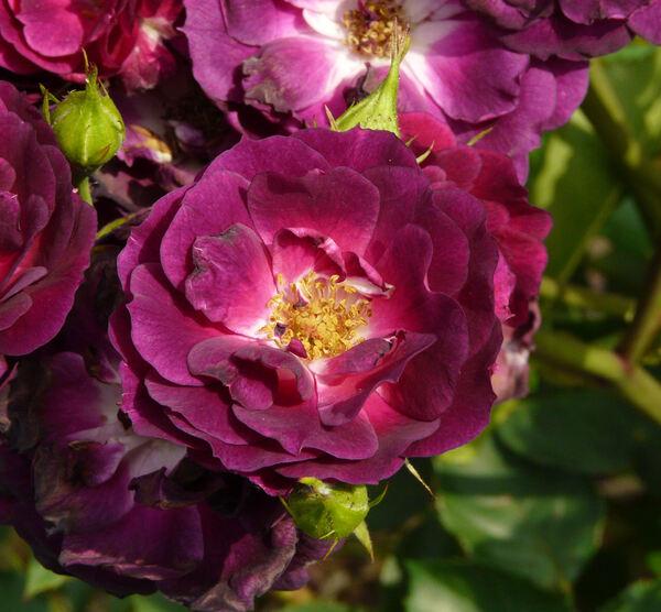 Rosa 'Midnight Blue ™'