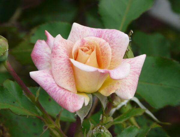 Rosa 'Michel Serrault ®'