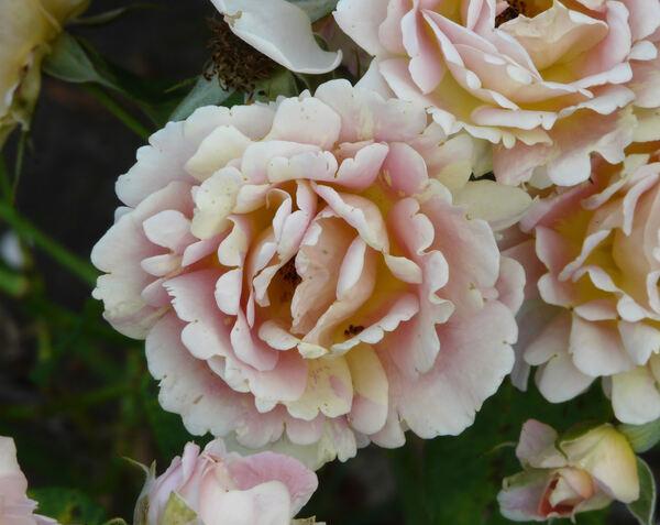 Rosa 'Rose des Cisterciens ®'