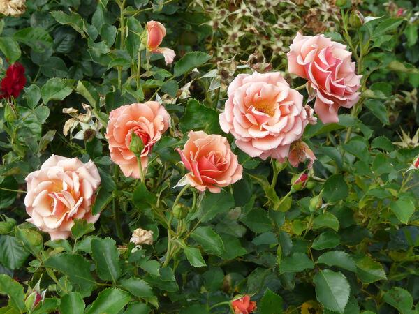 Rosa 'Ann Henderson'