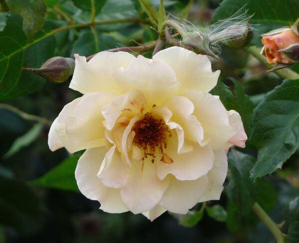 Rosa 'Kordes Moonlight'
