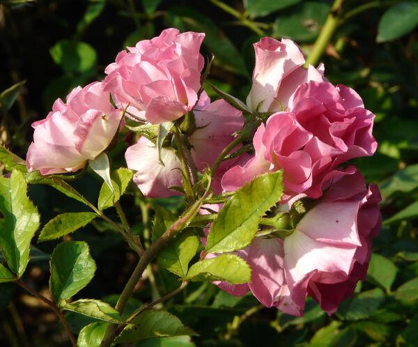 Rosa 'Rivierenhof ®'