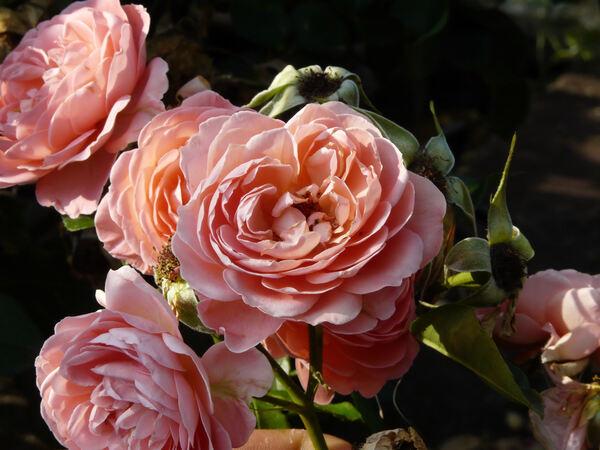 Rosa 'Pink Abundance'