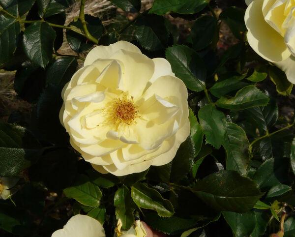 Rosa 'Goldschatz ®'
