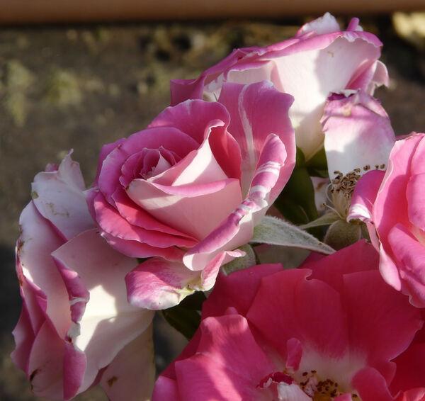 Rosa 'Buffalo Bill'