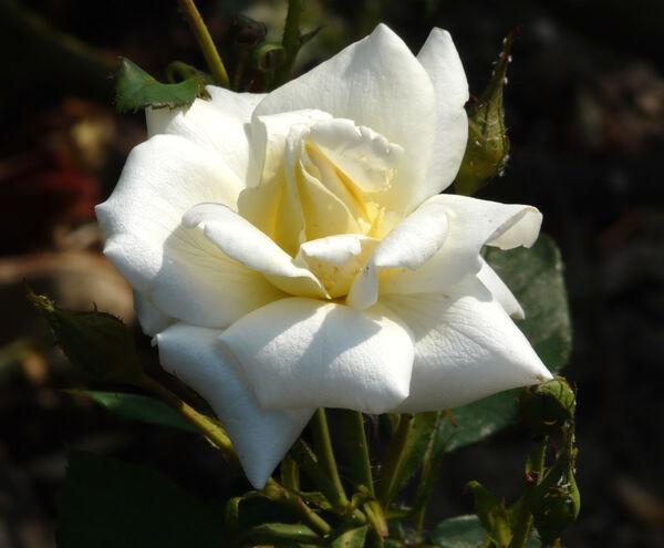 Rosa 'Love Letter ®'