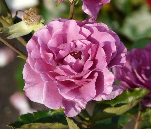 Rosa 'Shocking Blue ®'