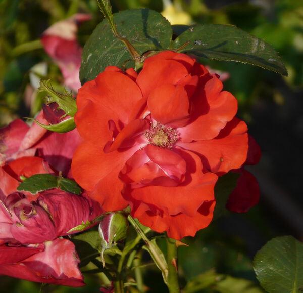Rosa 'Tornado ®'