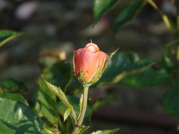 Rosa 'Fragrant Delight ®'